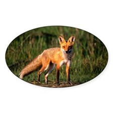 Red fox (Vulpes vulpes), Assateague Decal