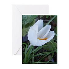 White Tulip Greeting Cards (Pk of 10)