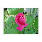 Beautiful Rose Photo Large Poster