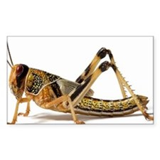 Locust (Acrididae family), clo Decal