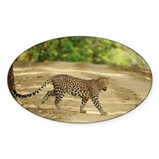 Indian leopard at Kanha Tiger Reser Decal