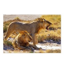 Male lions Postcards (Package of 8)