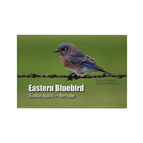 Female bluebird Magnet