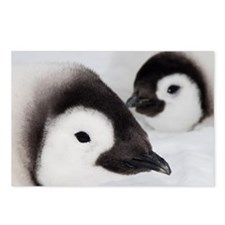 Emperor penguin chicks, S Postcards (Package of 8)