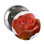 Coral Beauty Rose 2.25