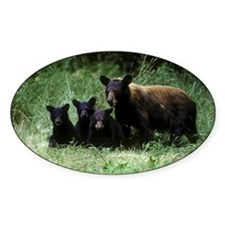 black bear ursus americanus cinnamo Decal