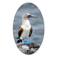 Blue footed booby Decal