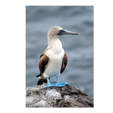 Blue footed booby Postcards (Package of 8)