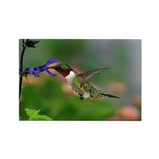Male Hummingbird feeding on salvi Rectangle Magnet