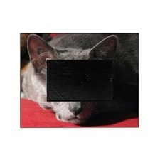 Russian blue cat on red pillow Picture Frame