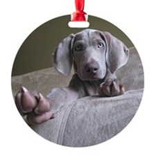 Blue eyed Weimaraner puppy reaching Ornament