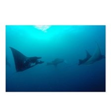 Manta Rays swim in the cu Postcards (Package of 8)