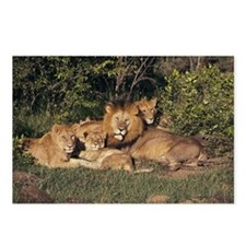 Lion Pride (Panthera leo) Postcards (Package of 8)