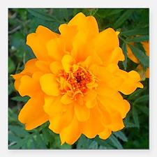 """Bursting Orange Marigold Square Car Magnet 3"""" x 3"""""""