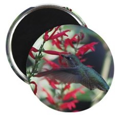 hummimg bird.jpg Magnet