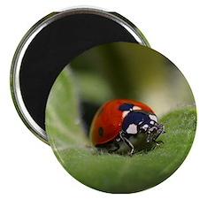 """Ladybug on a Leaf 2.25"""" Magnet (10 pack)"""