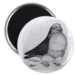 Chinese Owl Pigeon 2.25