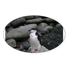 Chinstrap Penguin Oval Decal