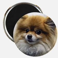 Pomeranian Cutie Magnet