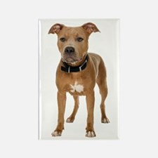 Pit Bull Rectangle Magnet