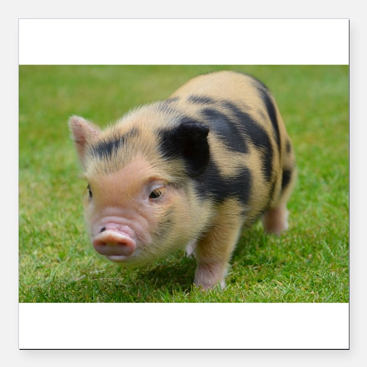"""Little Spotty micro pig Square Car Magnet 3"""" x 3"""""""