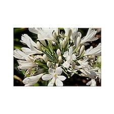 Agapanthus (white) flower in bloom Rectangle Magne