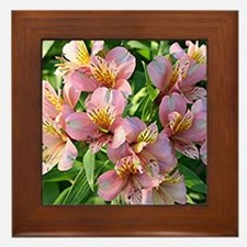Peruvian lily flowers in bloom Framed Tile