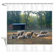 Horned Dorset Sheep Barn Scene early AM Shower Cur