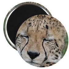 cheetah 005 Magnet