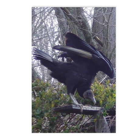 black buzzard Postcards (Package of 8)