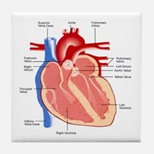 Human Heart Anatomy Tile Coaster