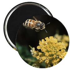honey bee in flight Magnet