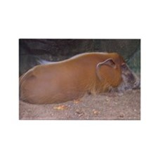 red river hog Rectangle Magnet