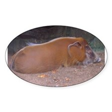 red river hog Oval Decal