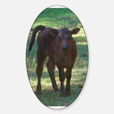 angus calf Oval Decal