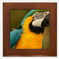 blue and gold macaw Framed Tile