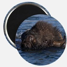 bison swimming Magnet