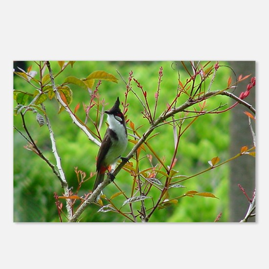 Red Whiskered Bulbul Postcards (Package of 8)