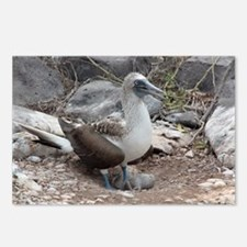 Blue-footed Booby with Baby Galapagos Postcards (P