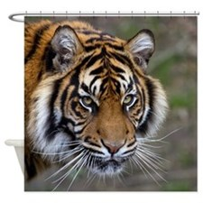 Power confidence peace and calm Sumatran Tiger Sho