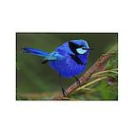 Blue Wren Rectangle Magnet (10 pack)