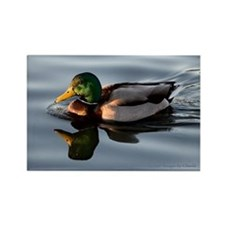 Male Mallard Duck Rectangle Magnet