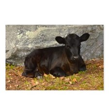 Vermont Calf lying Down Postcards (Package of 8)