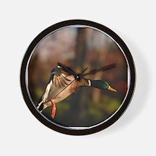 Mallard Duck In Flight  Wall Clock