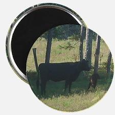 angus cow & calf Magnet