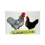Black Sex-link Chickens Rectangle Magnet (100 pack