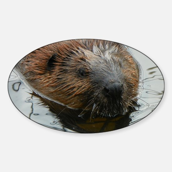 Beaver  swimming  Sticker (Oval)