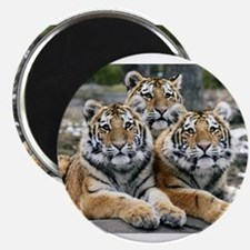"""TIGERS 2.25"""" Magnet (100 pack)"""
