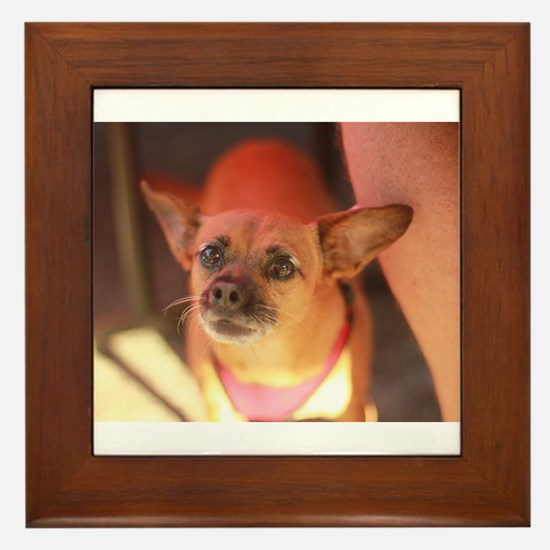 chihuahua portrait closeup Framed Tile