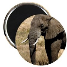 African Bush Elephant moving to success a Magnets